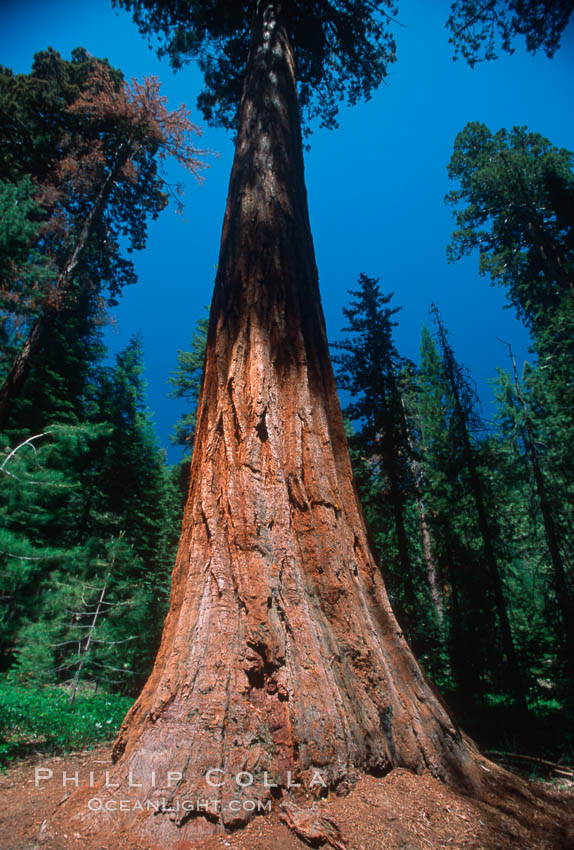 Giant Sequoia tree. Mariposa Grove, Yosemite National Park, California, USA, Sequoiadendron giganteum, natural history stock photograph, photo id 03641