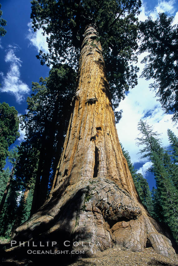 Giant Sequoia tree. Mariposa Grove, Yosemite National Park, California, USA, Sequoiadendron giganteum, natural history stock photograph, photo id 03645