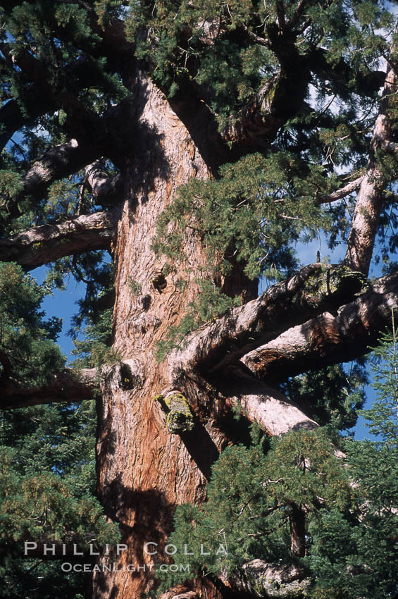 Giant Sequoia tree. Mariposa Grove, Yosemite National Park, California, USA, Sequoiadendron giganteum, natural history stock photograph, photo id 03677