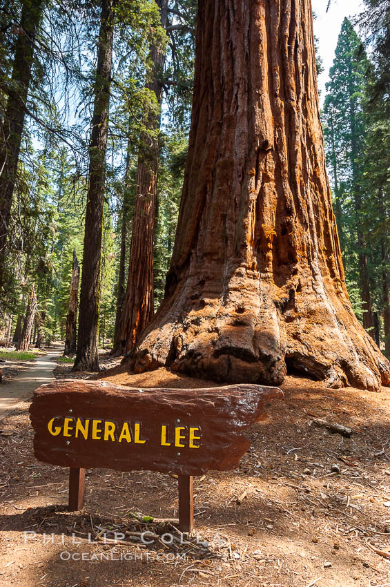 The General Lee, an enormous Sequoia tree. Giant Forest, Sequoia Kings Canyon National Park, California, USA, Sequoiadendron giganteum, natural history stock photograph, photo id 09881