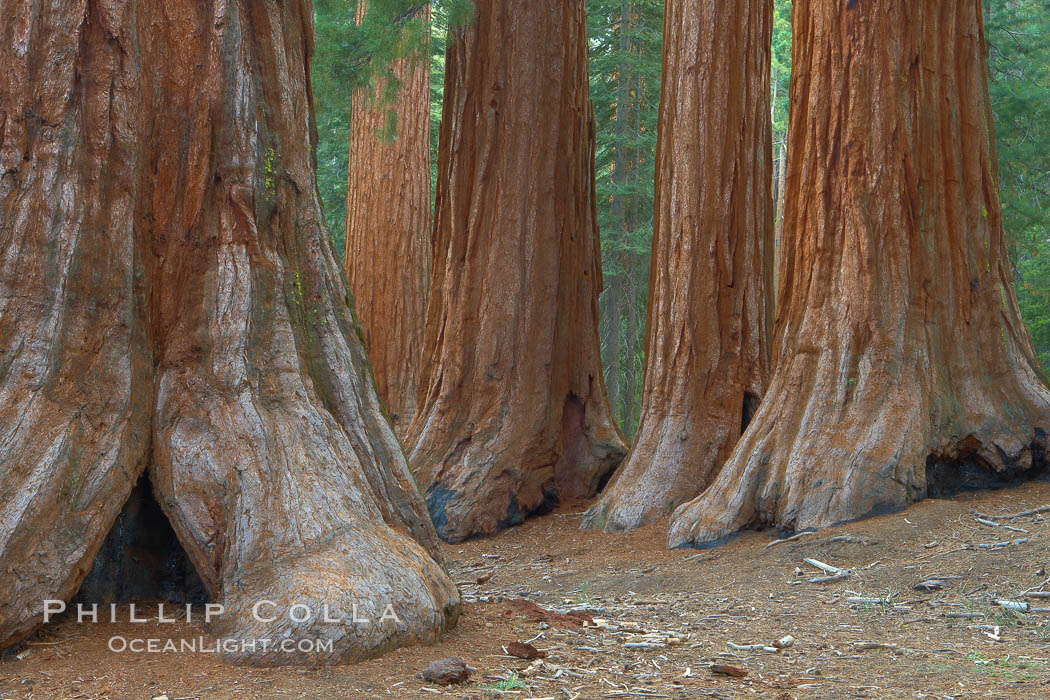 Giant sequoia trees, roots spreading outward at the base of each massive tree, rise from the shaded forest floor. Mariposa Grove, Yosemite National Park, California, USA, Sequoiadendron giganteum, natural history stock photograph, photo id 23258