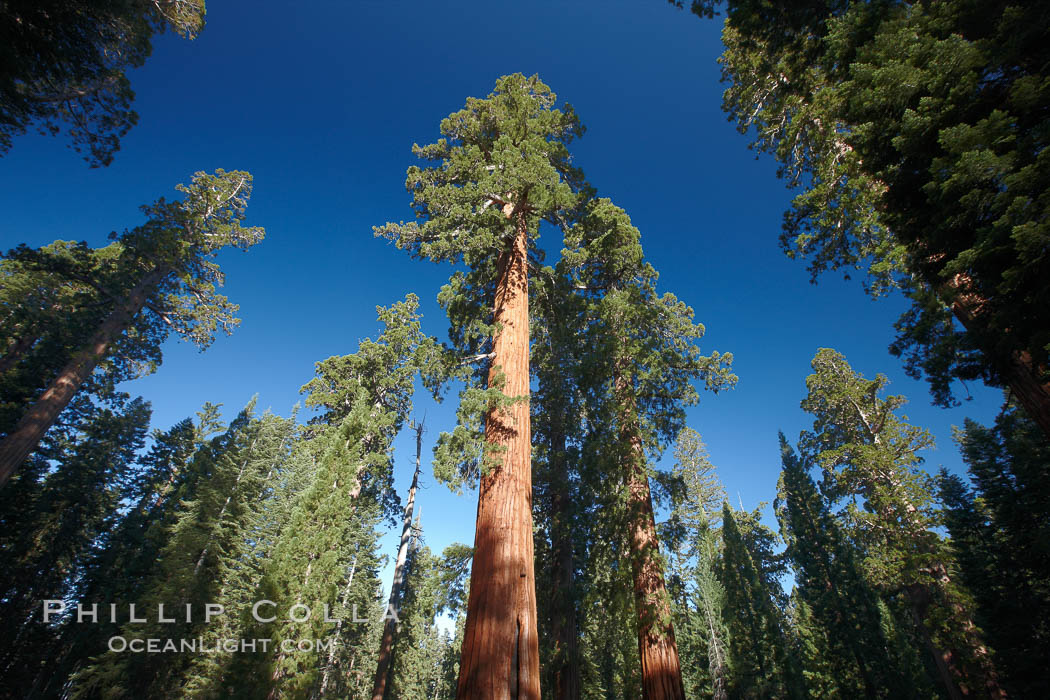 A giant sequoia tree, soars skyward from the forest floor, lit by the morning sun and surrounded by other sequioas.  The massive trunk characteristic of sequoia trees is apparent, as is the crown of foliage starting high above the base of the tree. Mariposa Grove, Yosemite National Park, California, USA, Sequoiadendron giganteum, natural history stock photograph, photo id 23260