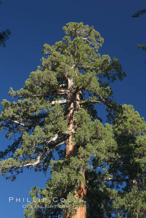 The crown of limbs, branches that forms the topmost reaches of a giant sequoia tree. Mariposa Grove, Yosemite National Park, California, USA, Sequoiadendron giganteum, natural history stock photograph, photo id 23276