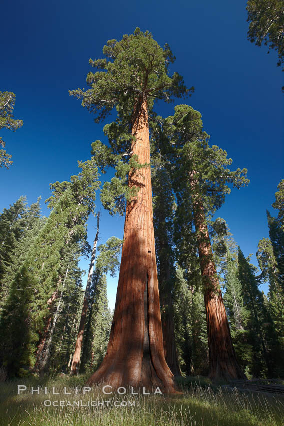 A giant sequoia tree, soars skyward from the forest floor, lit by the morning sun and surrounded by other sequioas.  The massive trunk characteristic of sequoia trees is apparent, as is the crown of foliage starting high above the base of the tree. Mariposa Grove, Yosemite National Park, California, USA, Sequoiadendron giganteum, natural history stock photograph, photo id 23259