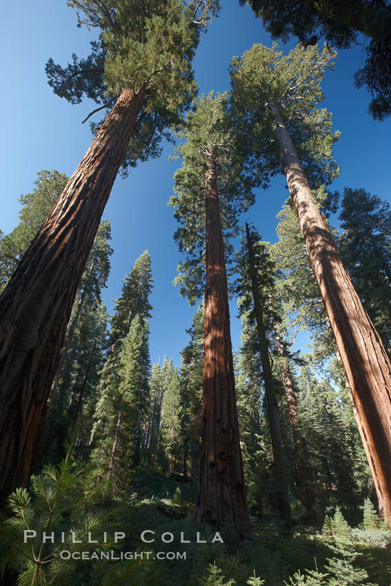 Giant sequioa trees, in the Mariposa Grove soar skyward from the cool, shaded forest floor. Mariposa Grove, Yosemite National Park, California, USA, Sequoiadendron giganteum, natural history stock photograph, photo id 23275