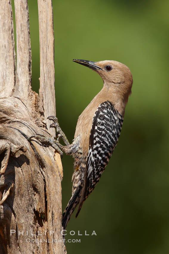 Gila woodpecker, female. Amado, Arizona, USA, Melanerpes uropygialis, natural history stock photograph, photo id 22928