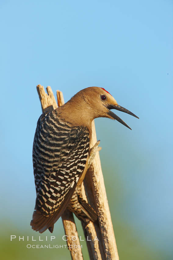 Gila woodpecker, male. Amado, Arizona, USA, Melanerpes uropygialis, natural history stock photograph, photo id 22932