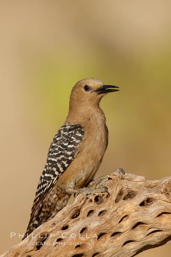 Gila woodpecker, female. Amado, Arizona, USA, Melanerpes uropygialis, natural history stock photograph, photo id 23016