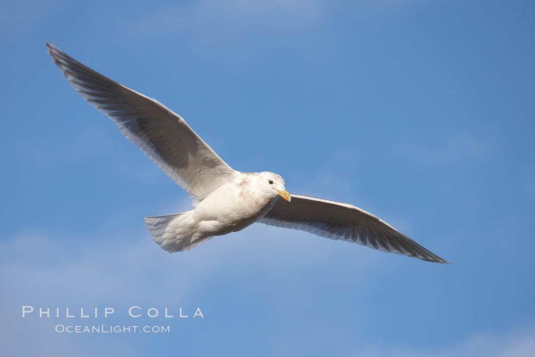 Glaucous-winged gull, in flight. Kachemak Bay, Homer, Alaska, USA, Larus glaucescens, natural history stock photograph, photo id 22857