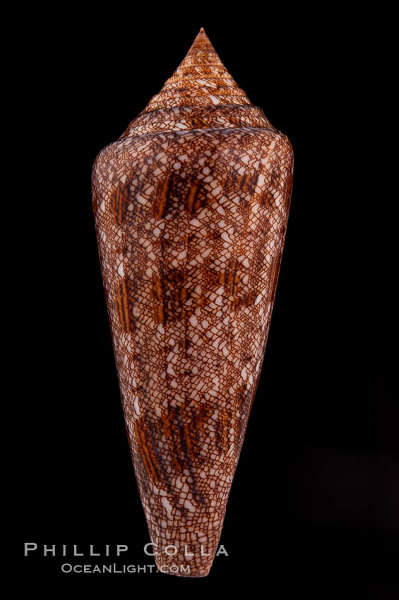 Glory of the Sea cone shell, brown form.  The Glory of the Sea cone shell, once one of the rarest and most sought after of all seashells, remains the most famous and one of the most desireable shells for modern collectors., Conus gloriamaris, natural history stock photograph, photo id 08733