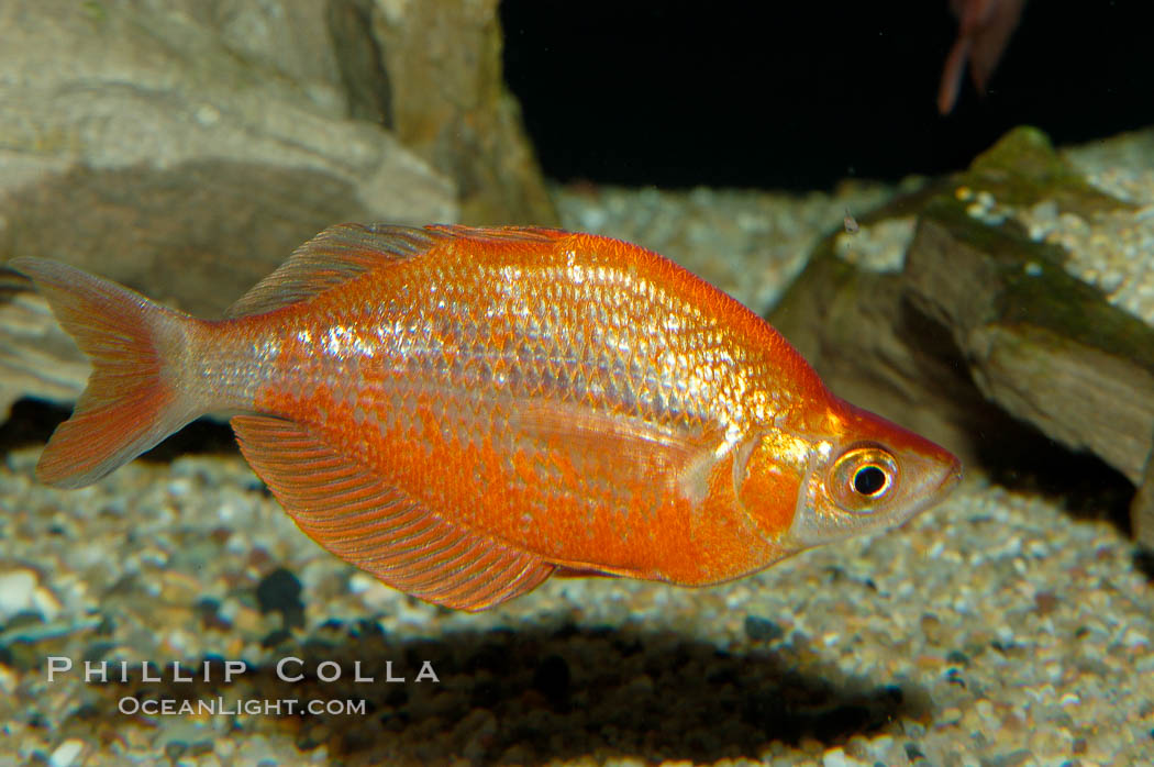 Red rainbowfish., Glossolepis incisus, natural history stock photograph, photo id 09286