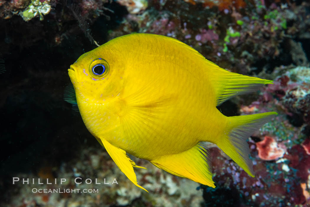Golden Damselfish, Fiji. Namena Marine Reserve, Namena Island, Fiji, Amblyglyphidodon aureus, natural history stock photograph, photo id 34734