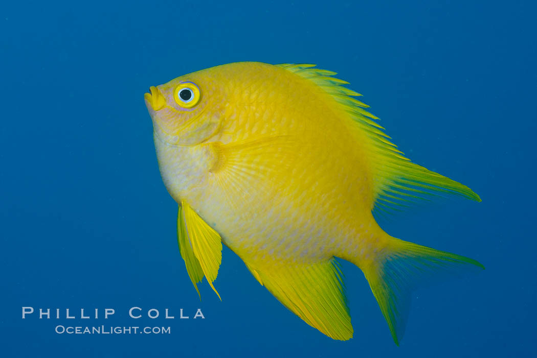 Image 31777, Golden Damselfish, Fiji. Makogai Island, Lomaiviti Archipelago, Fiji, Amblyglyphidodon aureus, Phillip Colla, all rights reserved worldwide. Keywords: amblyglyphidodon aureus, animalia, chordata, coral, coral reef, damsel, damselfish, fiji, fiji islands, fijian islands, fish, golden damselfish, island, lomaiviti archipelago, makogai island, marine, nature, oceania, pacific ocean, reef, south pacific, tropical, underwater.
