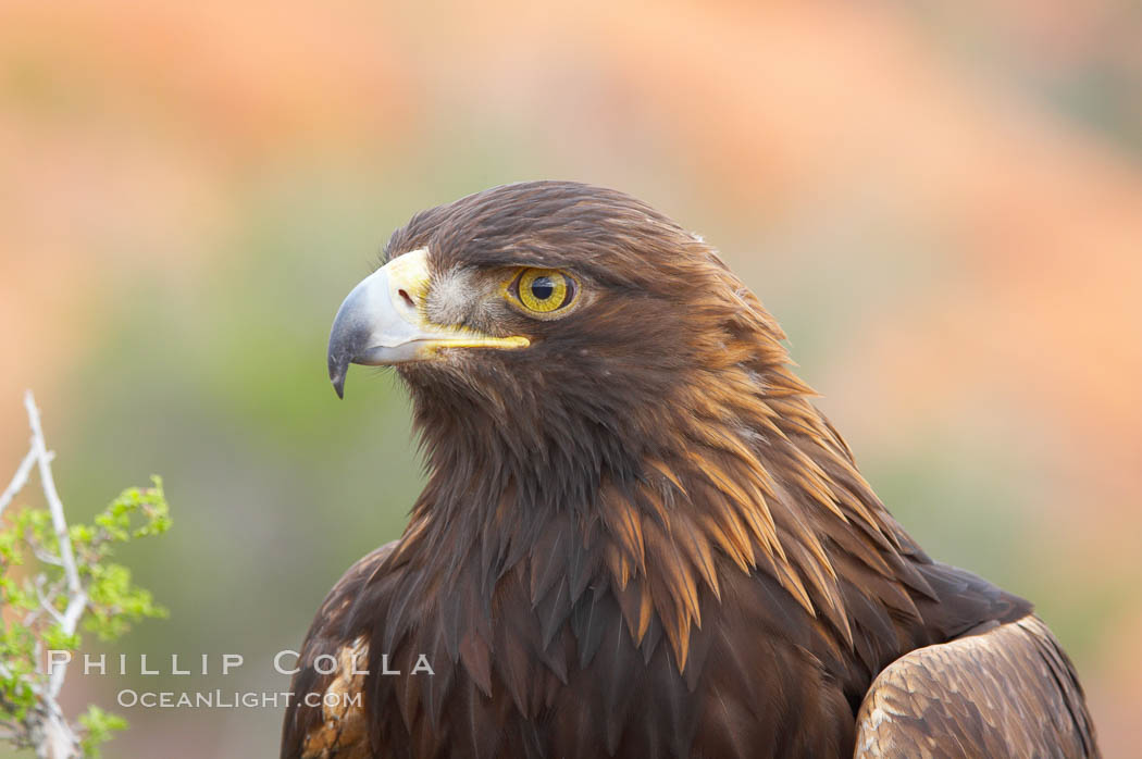 Golden eagle., Aquila chrysaetos, natural history stock photograph, photo id 12216