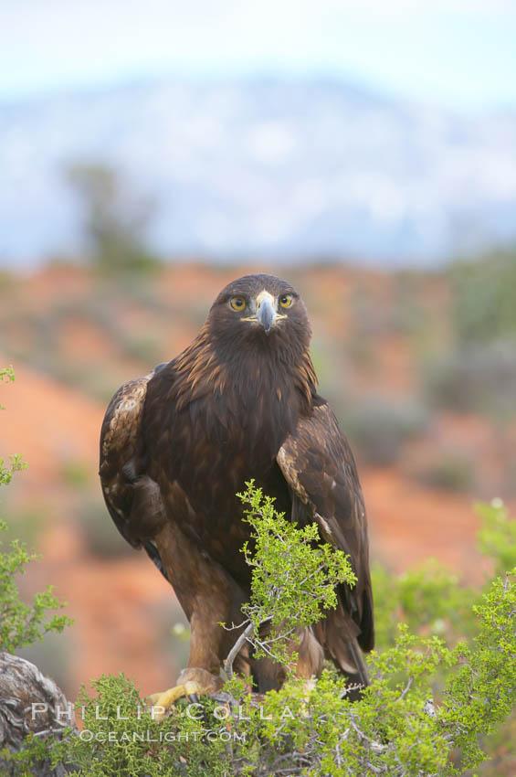 Golden eagle., Aquila chrysaetos, natural history stock photograph, photo id 12224