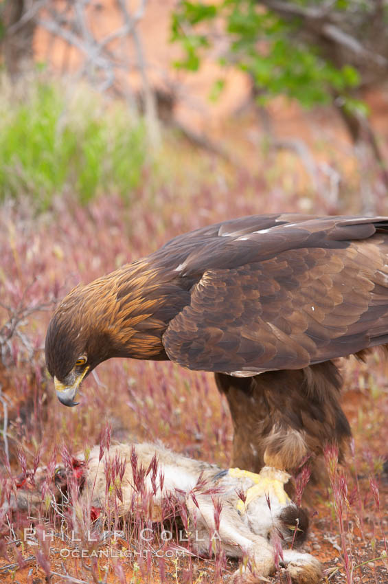 Golden eagle consumes a rabbit., Aquila chrysaetos, natural history stock photograph, photo id 12235