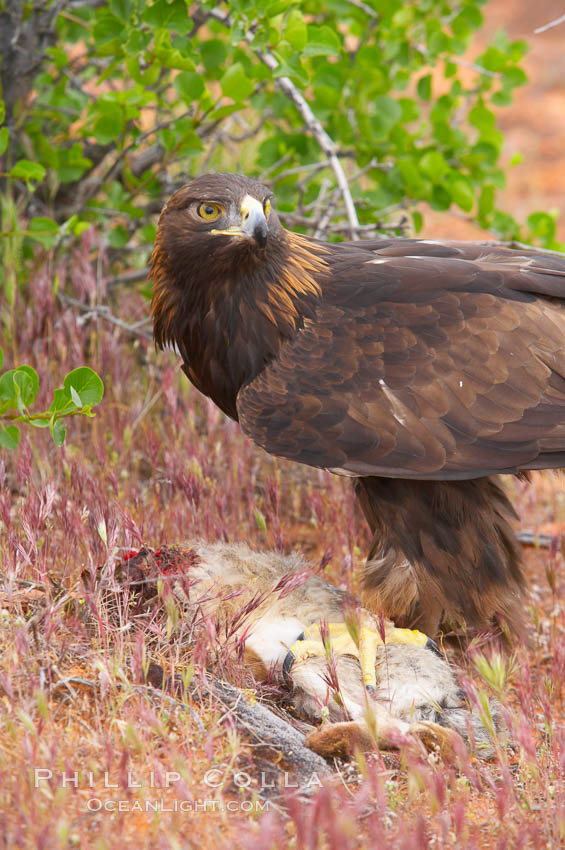 Golden eagle consumes a rabbit., Aquila chrysaetos, natural history stock photograph, photo id 12229