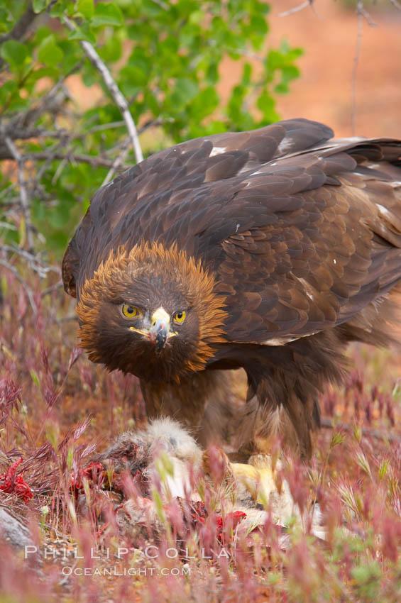 Golden eagle consumes a rabbit., Aquila chrysaetos, natural history stock photograph, photo id 12212