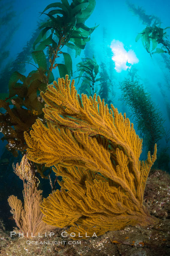 Golden gorgonian on underwater rocky reef, amid kelp forest, Catalina Island. The golden gorgonian is a filter-feeding temperate colonial species that lives on the rocky bottom at depths between 50 to 200 feet deep. Each individual polyp is a distinct animal, together they secrete calcium that forms the structure of the colony. Gorgonians are oriented at right angles to prevailing water currents to capture plankton drifting by. Catalina Island, California, USA, natural history stock photograph, photo id 34217
