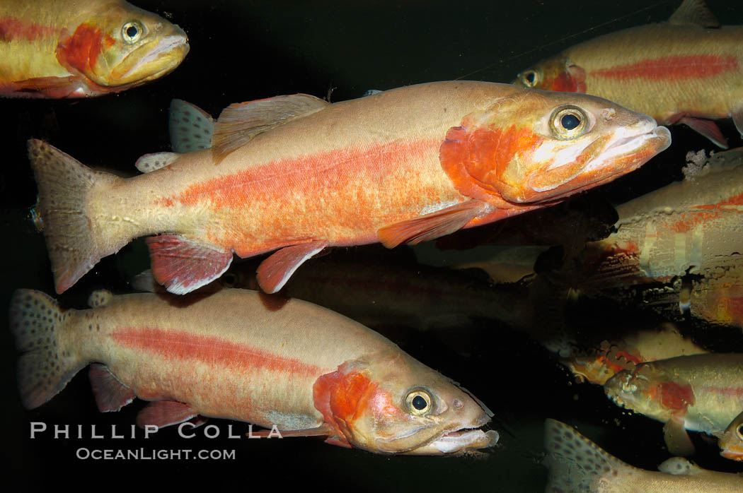 Golden trout., Oncorhynchus aguabonita, natural history stock photograph, photo id 09267