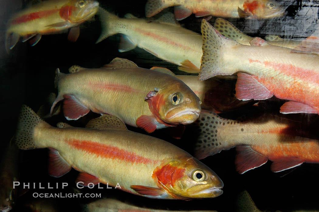 Golden trout., Oncorhynchus aguabonita, natural history stock photograph, photo id 09416