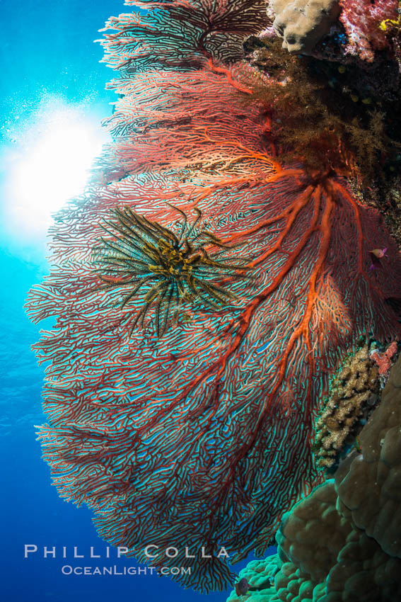 Image 31547, Plexauridae Gorgonian Sea Fan on Coral Reef, Fiji. Wakaya Island, Lomaiviti Archipelago, Crinoidea, Gorgonacea, Plexauridae, Phillip Colla, all rights reserved worldwide. Keywords: alcyonacea, animalia, anthozoa, cnidaria, colonial octocoral, coral, coral reef, crinoid, crinoidea, crinozoa, echinoderm, echinodermata, fiji, fiji islands, fijian islands, gorgonacea, gorgonian, island, lomaiviti archipelago, marine, nature, oceania, octocorallia, pacific ocean, plexauridae, reef, sea fan, south pacific, tropical, underwater, wakaya island.