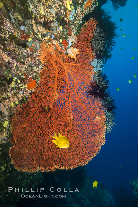 Gorgonian Sea Fan on Coral Reef, Fiji. Vatu I Ra Passage, Bligh Waters, Viti Levu  Island, Crinoidea, Gorgonacea, natural history stock photograph, photo id 31373