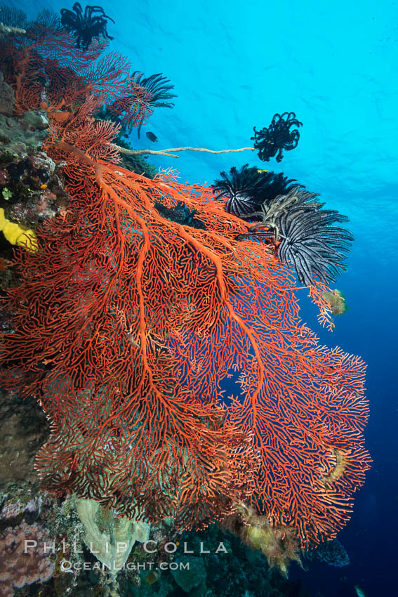 Plexauridae gorgonian Sea Fan on Pristine Coral Reef, Fiji. Vatu I Ra Passage, Bligh Waters, Viti Levu  Island, Crinoidea, Gorgonacea, Plexauridae, natural history stock photograph, photo id 31510