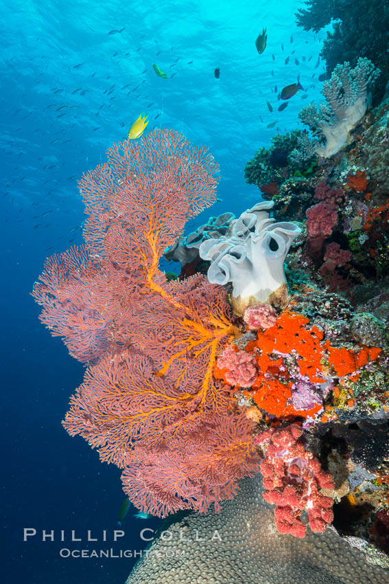 Gorgonian Sea Fan on Pristine Coral Reef, Fiji. Vatu I Ra Passage, Bligh Waters, Viti Levu  Island, Gorgonacea, Plexauridae, natural history stock photograph, photo id 31656