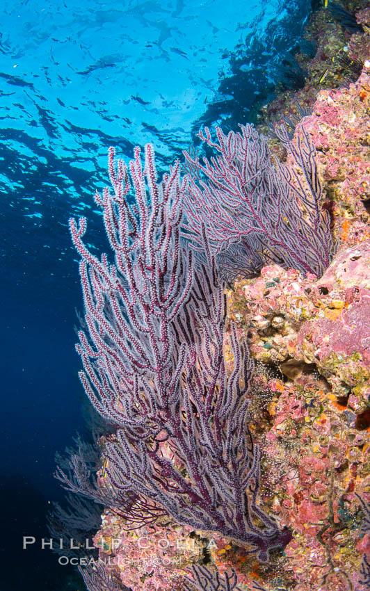 Gorgonian Sea Fans on Rocky Reef, Los Islotes, Sea of Cortez. Sea of Cortez, Baja California, Mexico, natural history stock photograph, photo id 33823