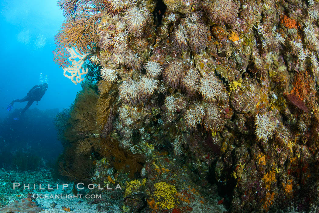 Gorgonians and invertebrate life covers a rocky reef, Sea of Cortez, Mexico. Baja California, natural history stock photograph, photo id 31241