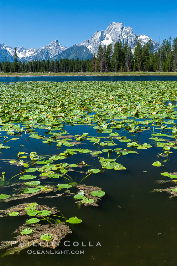 Lilypads cover Heron Pond, Mount Moran in the background. Heron Pond, Grand Teton National Park, Wyoming, USA, natural history stock photograph, photo id 07426