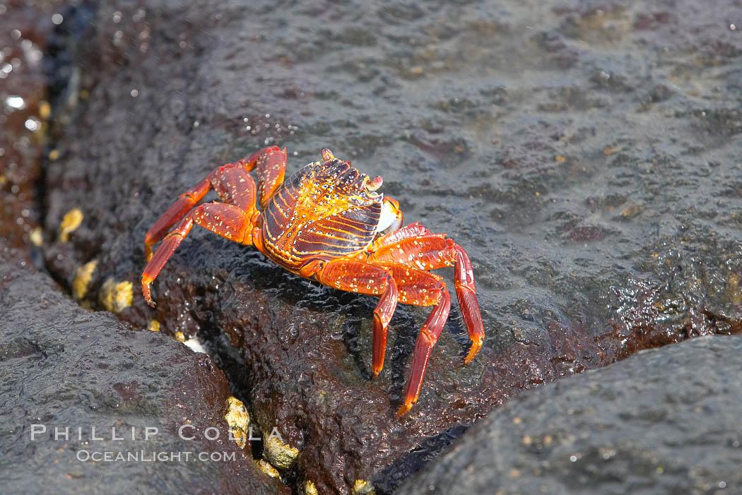 Sally lightfoot crab on volcanic rocks, Punta Albemarle. Isabella Island, Galapagos Islands, Ecuador, Grapsus grapsus, natural history stock photograph, photo id 16603