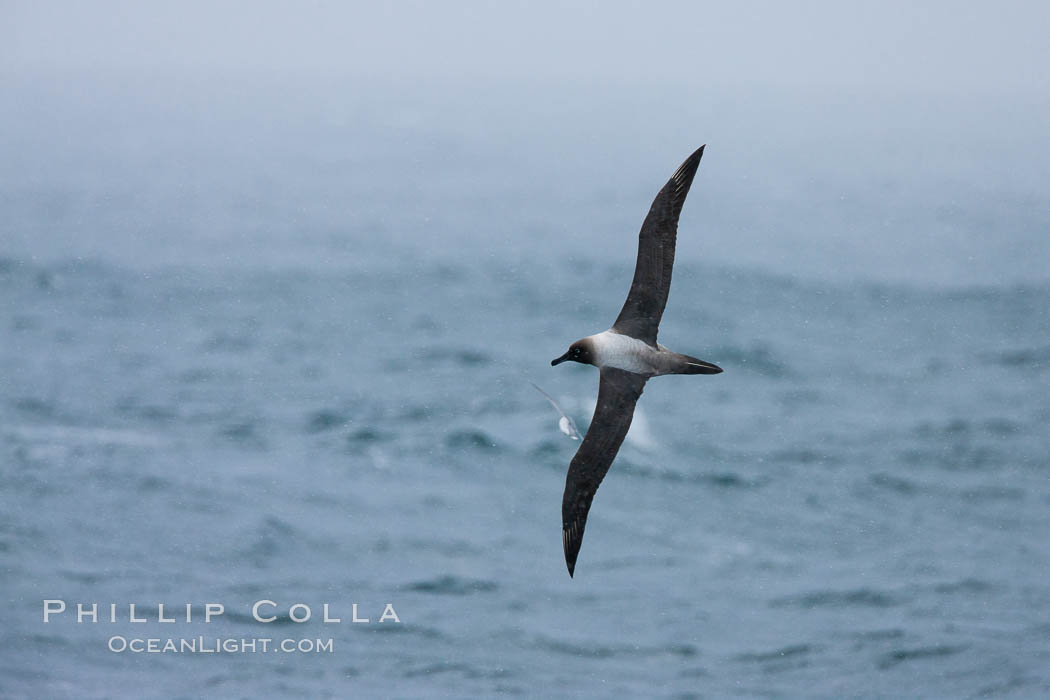 Gray-headed albatross, in flight. Scotia Sea, Southern Ocean, Thalassarche chrysostoma, natural history stock photograph, photo id 24728
