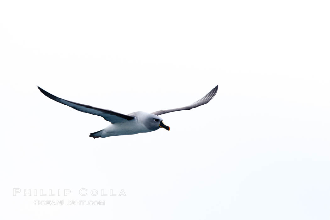 Gray-headed albatross, in flight. South Georgia Island, Thalassarche chrysostoma, natural history stock photograph, photo id 24361