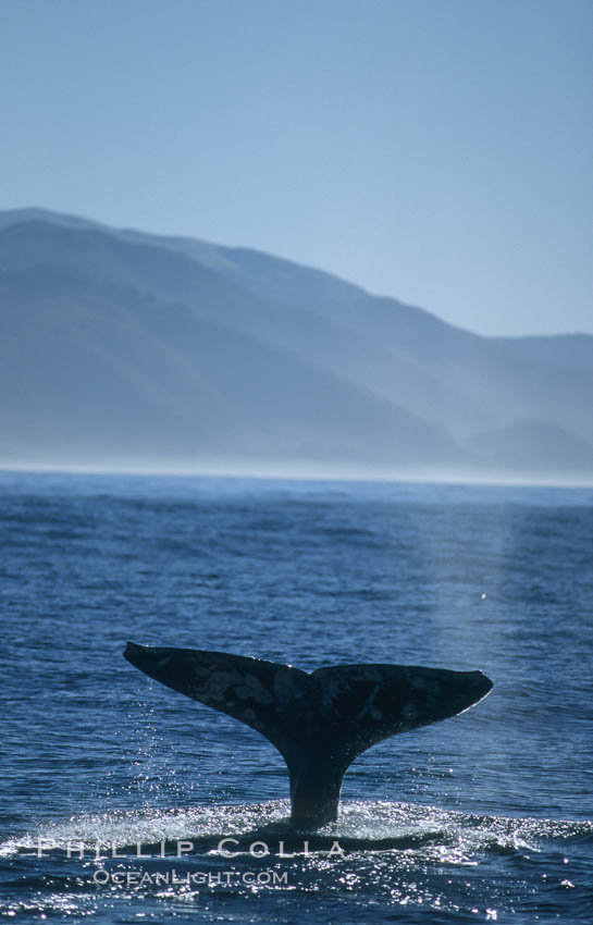 Gray whale. Big Sur, California, USA, Eschrichtius robustus, natural history stock photograph, photo id 01182