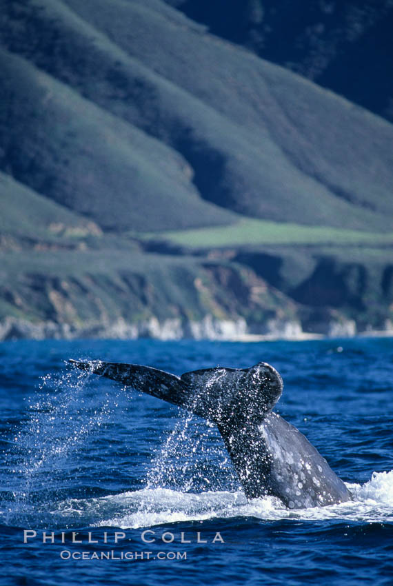 Gray whale, raising fluke to dive. Big Sur, California, USA, Eschrichtius robustus, natural history stock photograph, photo id 05780