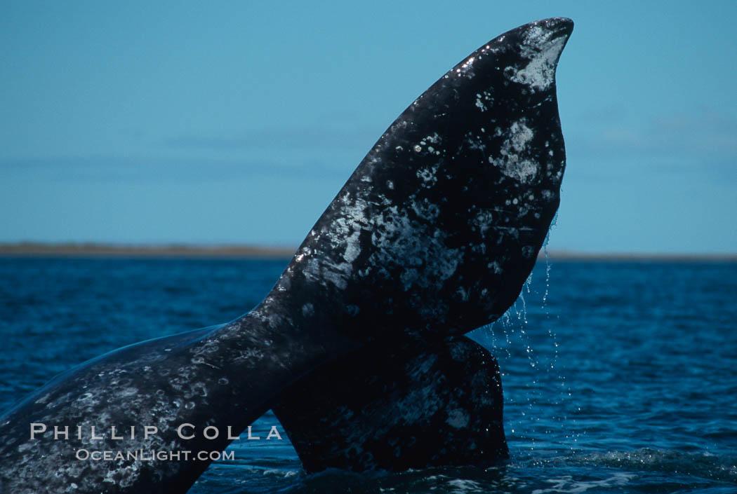 Gray whale, Laguna San Ignacio. San Ignacio Lagoon, Baja California, Mexico, Eschrichtius robustus, natural history stock photograph, photo id 03395