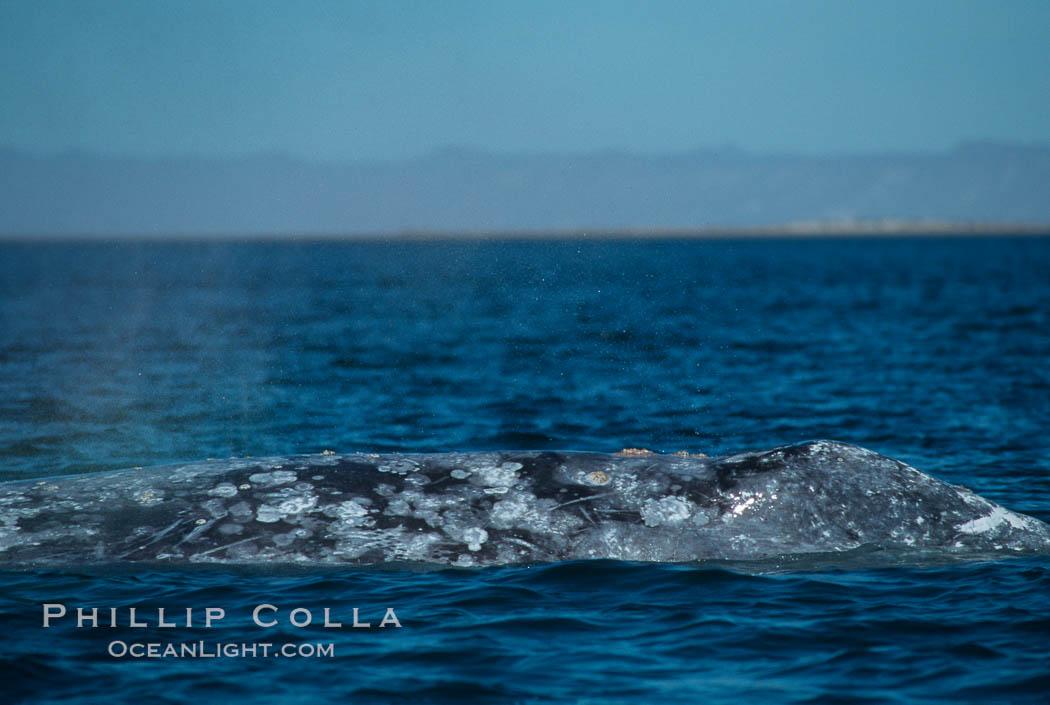 Gray whale dorsal aspect showing characteristic skin mottling and ectoparasitic barnacles and whale lice (amphipod crustaceans), Laguna San Ignacio. San Ignacio Lagoon, Baja California, Mexico, Eschrichtius robustus, natural history stock photograph, photo id 06427