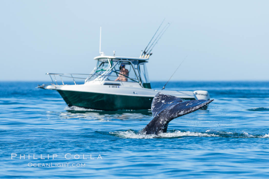 Gray whale raising fluke before diving, on southern migration to calving lagoons in Baja. San Diego, California, USA, natural history stock photograph, photo id 34232