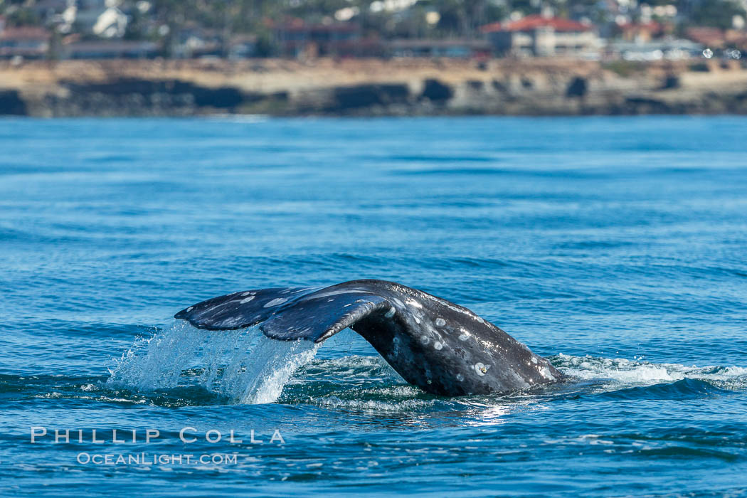 Gray whale raising fluke before diving, on southern migration to calving lagoons in Baja. San Diego, California, USA, natural history stock photograph, photo id 34237