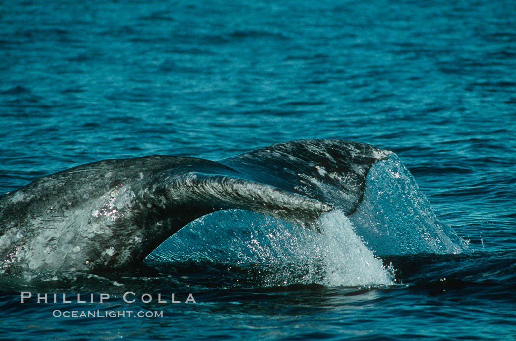 Gray whale. Monterey, California, USA, Eschrichtius robustus, natural history stock photograph, photo id 01190