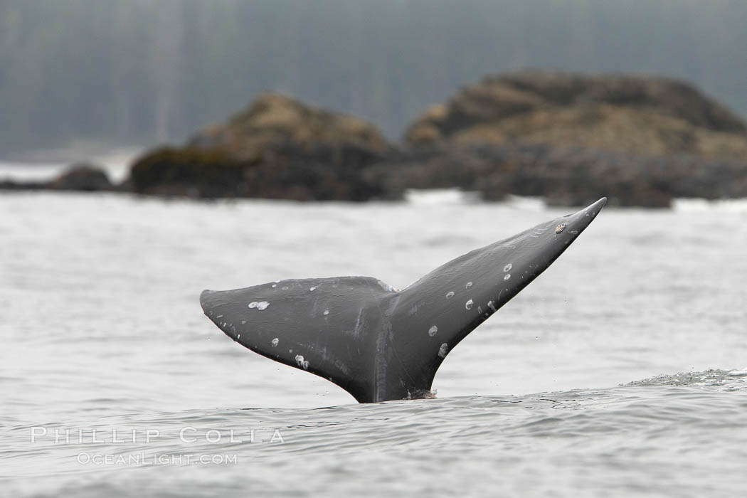 Gray whale, raising its fluke (tail) before diving to the ocean floor to forage for crustaceans, , Cow Bay, Flores Island, near Tofino, Clayoquot Sound, west coast of Vancouver Island. Cow Bay, Flores Island, British Columbia, Canada, Eschrichtius robustus, natural history stock photograph, photo id 21174