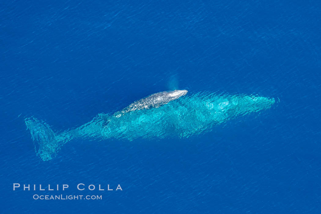 Aerial photo of gray whale calf and mother. This baby gray whale was born during the southern migration, far to the north of the Mexican lagoons of Baja California where most gray whale births take place. San Clemente, USA, Eschrichtius robustus, natural history stock photograph, photo id 29006
