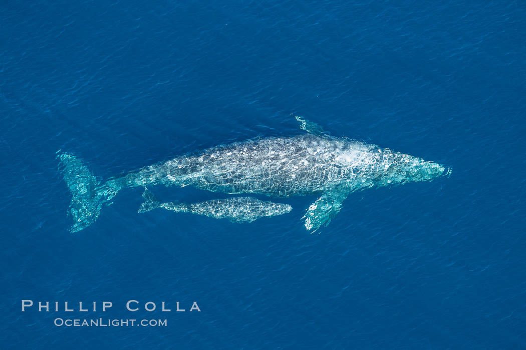 Aerial photo of gray whale calf and mother. This baby gray whale was born during the southern migration, far to the north of the Mexican lagoons of Baja California where most gray whale births take place. San Clemente, USA, Eschrichtius robustus, natural history stock photograph, photo id 29018