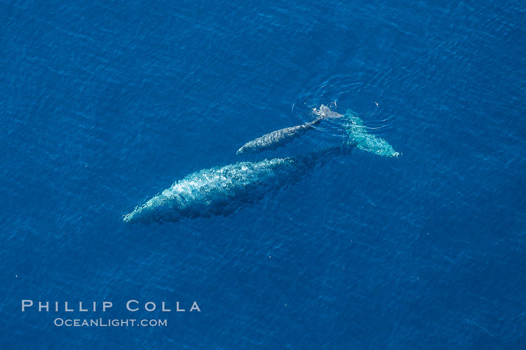 Aerial photo of gray whale calf and mother. This baby gray whale was born during the southern migration, far to the north of the Mexican lagoons of Baja California where most gray whale births take place. San Clemente, USA, Eschrichtius robustus, natural history stock photograph, photo id 29024