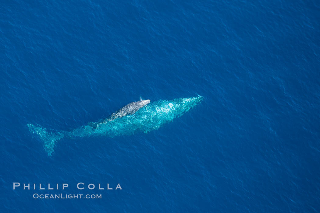 Aerial photo of gray whale calf and mother. This baby gray whale was born during the southern migration, far to the north of the Mexican lagoons of Baja California where most gray whale births take place. San Clemente, California, USA, Eschrichtius robustus, natural history stock photograph, photo id 29023