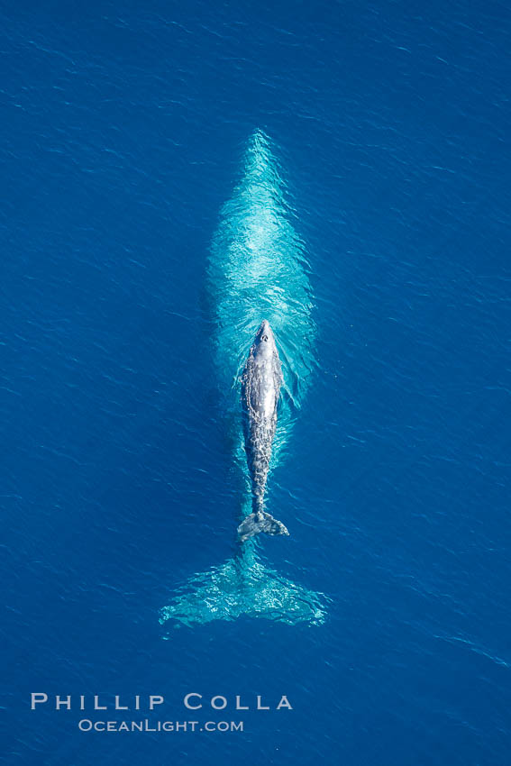 Aerial photo of gray whale calf and mother. This baby gray whale was born during the southern migration, far to the north of the Mexican lagoons of Baja California where most gray whale births take place. San Clemente, USA, Eschrichtius robustus, natural history stock photograph, photo id 29001