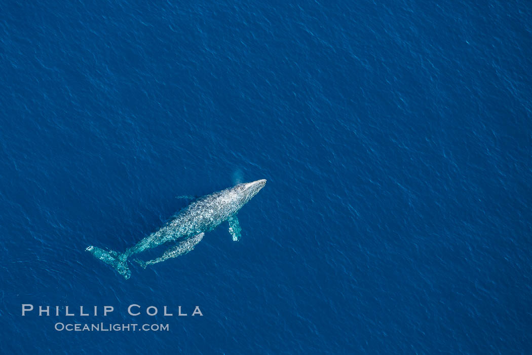 Aerial photo of gray whale calf and mother. This baby gray whale was born during the southern migration, far to the north of the Mexican lagoons of Baja California where most gray whale births take place. San Clemente, California, USA, Eschrichtius robustus, natural history stock photograph, photo id 29021