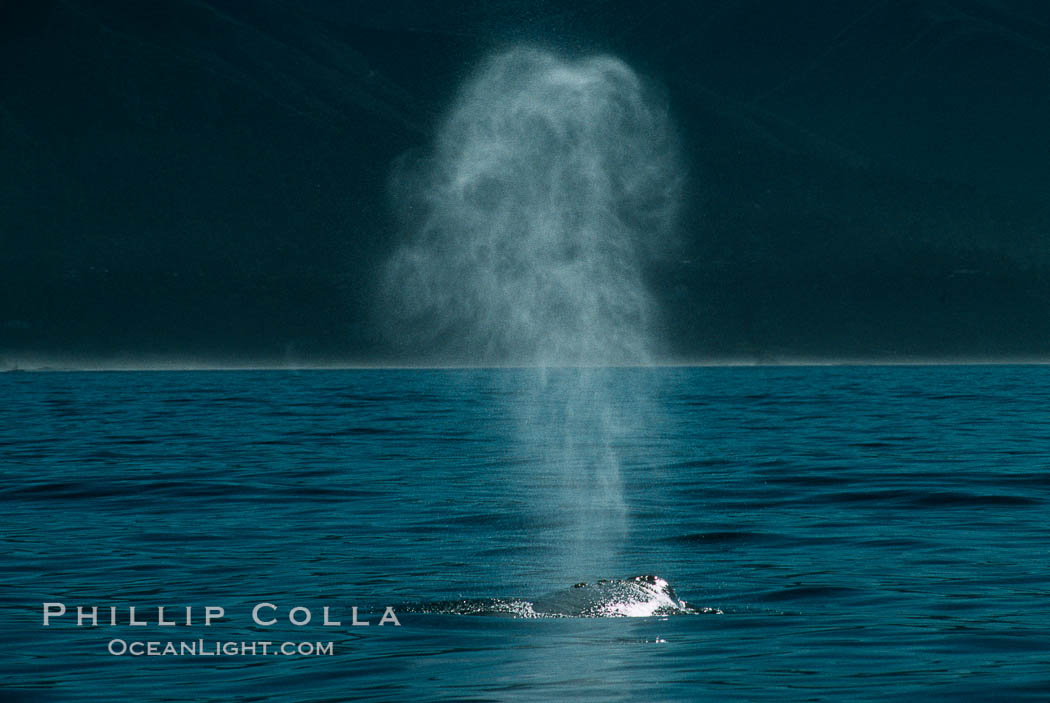 Gray whale, blow. Big Sur, California, USA, Eschrichtius robustus, natural history stock photograph, photo id 01170